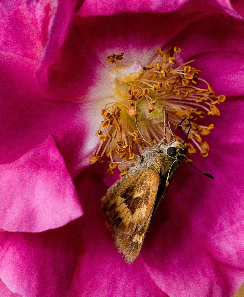 Flowering Moth