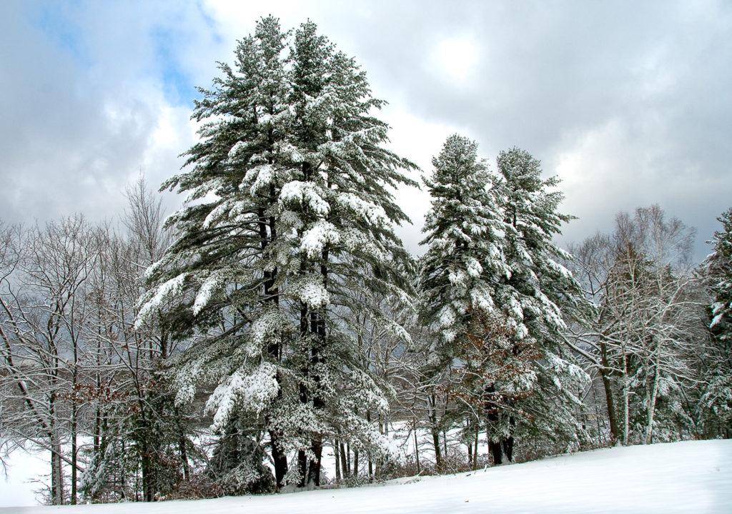 Winter Evergreens by Sandy Renna