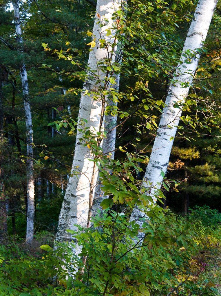 Lighted Birches by Sandy Renna