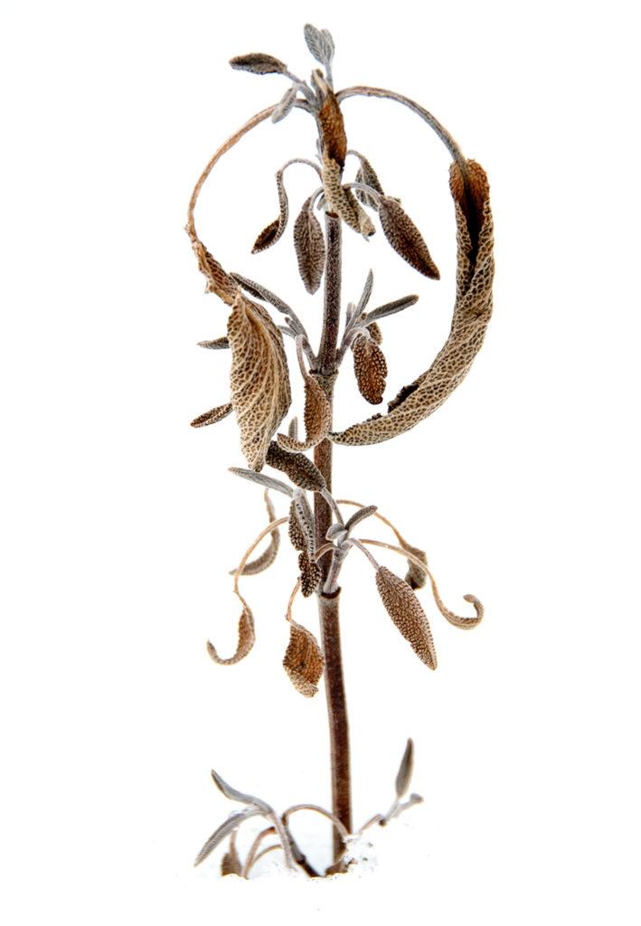 Winter Sage